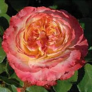 Rosa 'Ros'Odile' - sárga, rózsaszín tarka virágágyi grandiflora - floribunda rózsa