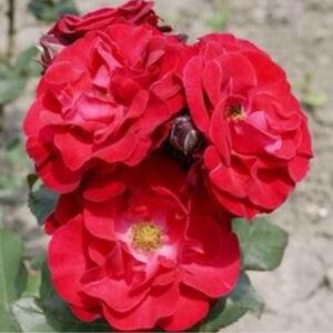 Rosa 'Sammetglut®' - Sötétpiros fehér középpel - virágágyi grandiflora - floribunda rózsa