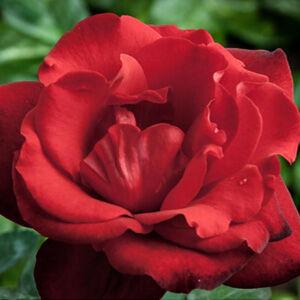 Rosa 'Satchmo' - élénk skarlátvörös virágágyi floribunda rózsa