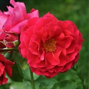 Rosa 'Souvenir d'Edouard Maubert' - piros virágágyi floribunda rózsa