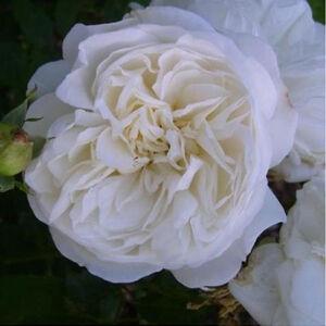 Rosa 'Weisse Gruss an Aachen' - fehér krémszín belsővel virágágyi floribunda rózsa