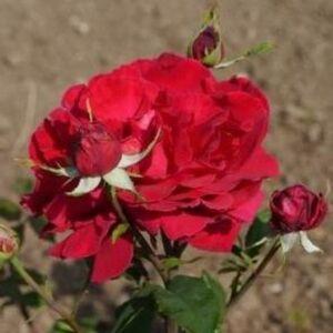 Rosa 'Volcano' - cseresznyepiros teahibrid rózsa