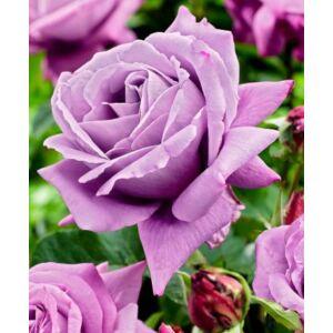 Rosa 'Waltz Time' - Mályváslila teahibrid rózsa