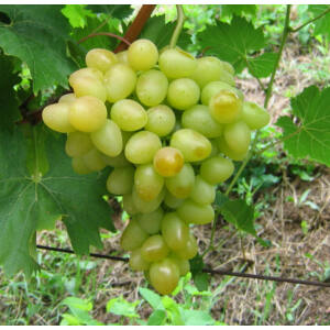 'Árkádia' csemegeszőlő