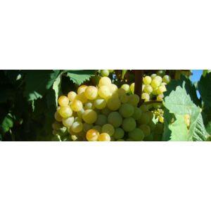 'Éva' különleges csemegeszőlő