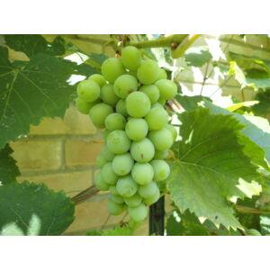 'Attila' csemegeszőlő