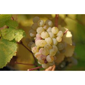 'Belgrádi fehér' magvatlan csemegeszőlő