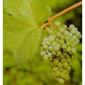 'Bianca R' fehér borszőlő