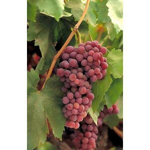'Cardinál' csemegeszőlő