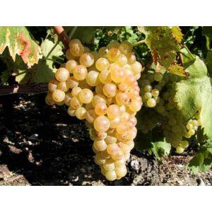 'Chasselas' fehér csemegeszőlő
