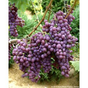 'Chasselas' piros csemegeszőlő