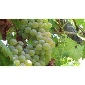 'Csabagyöngye' fehér csemegeszőlő
