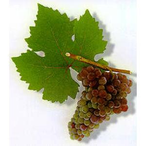 'Cserszegi Fűszeres' fehér borszőlő
