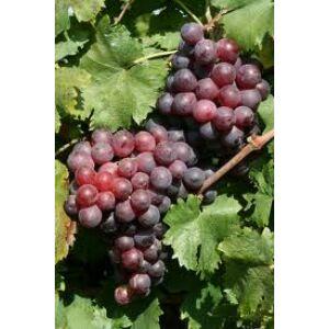 'Dunav' különleges csemegeszőlő