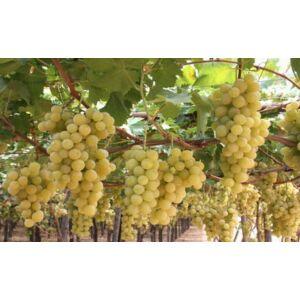 'Itália' csemegeszőlő