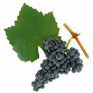 'Kékfrankos' vörös borszőlő