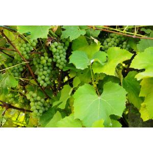 'Királylányka' fehér borszőlő