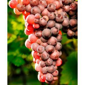 'Lidi' különleges csemegeszőlő