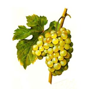 'Narancsízű' csemegeszőlő