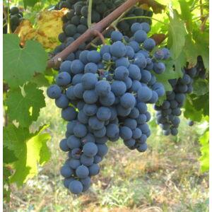 'Néró R' csemegeszőlő