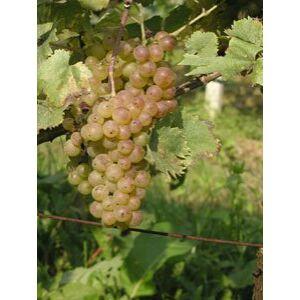 'Olaszrizling (P-20)' fehér borszőlő