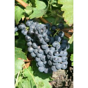 'Oportó' vörös borszőlő