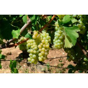 'Ottonel muskotályos' csemegeszőlő