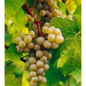 'Palatina (aug. muskotályos) R' csemegeszőlő