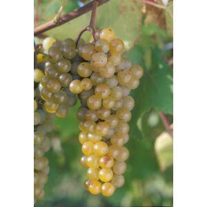 'Pannónia' csemegeszőlő