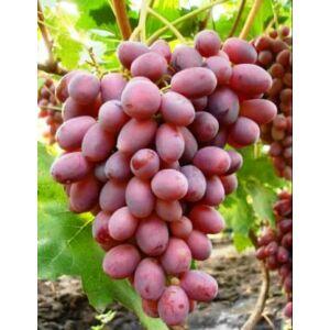 'Rizamat' különleges csemegeszőlő