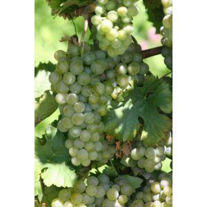 'Rizlingszilváni' fehér borszőlő