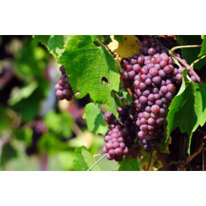 'Ruby King' piros magvatlan csemegeszőlő