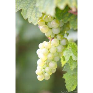 'Suzy' különleges csemegeszőlő