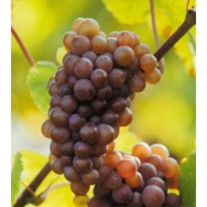 'Szürkebarát' fehér borszőlő