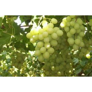 'Szőlőskertek királynője' csemegeszőlő
