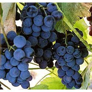 'Vénus R' kék magvatlan csemegeszőlő