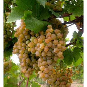 'Zalagyöngye' csemegeszőlő