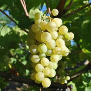 'Bianca' – Fehér borszőlő
