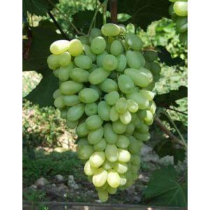 'Bolgár Rezi' R különleges csemegeszőlő