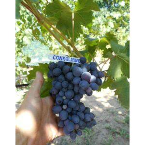 'Conegliano' különleges kék csemegeszőlő
