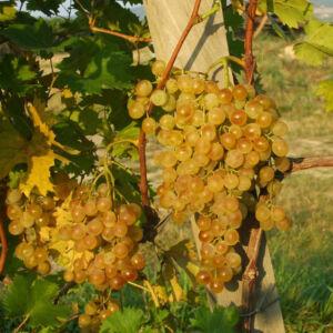 'Fanny R' csemegeszőlő