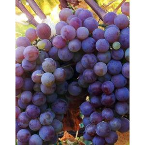 'Flóra' csemegeszőlő
