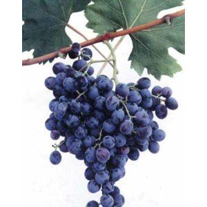 'Guzal Kara' különleges csemegeszőlő