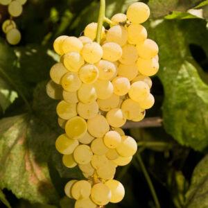 'Himrod' – Fehér borszőlő