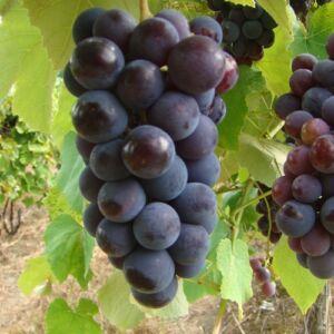 'Izabella R' csemegeszőlő