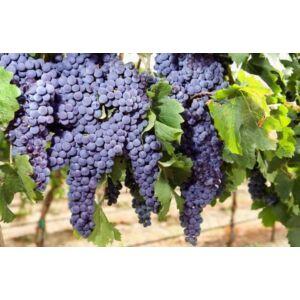 'Othello' - csemegeszőlő
