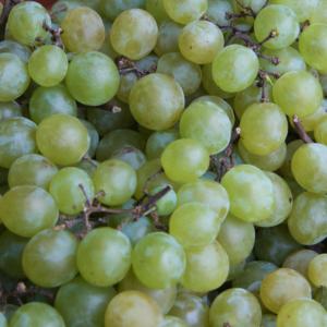 'Pölöskei muskotályos R' fehér borszőlő