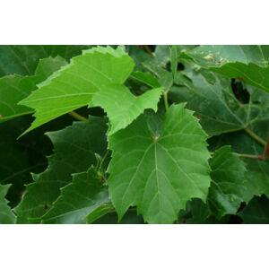 'Belgrádi piros' magvatlan csemegeszőlő