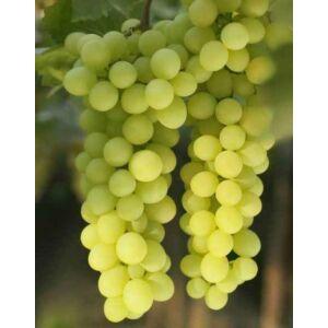 'Sugraone' magnélküli csemegeszőlő