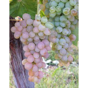 'Teréz' R csemegeszőlő